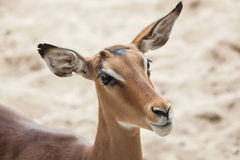 Impala Aepyceros melampus Lizenzfreie Stockfotografie