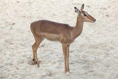 Impala Aepyceros melampus Stockfoto