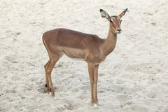 Impala Aepyceros melampus Stockfotografie