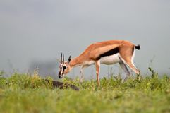 Impala Aepyceros melampus in african natural park. Grazing Stock Photos