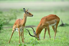 Impala Aepyceros melampus in African natural park. In summer Royalty Free Stock Image