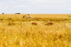 Impala Aepyceros melampus Antilope in Nationalpark Serengeti Lizenzfreie Stockfotos