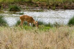 Impala Aepyceros melampus Antilope in Serengeti Lizenzfreie Stockfotografie