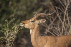 Impala, Aepyceros Melampus, eating shrub. And showing beautiful twisted horns. Kruger Nation Park, South Africa stock photography