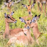 Impala Aepyceros melampus female group. Resting and ruminating in long green savanna grass in Kruger National park, South Africa stock photography