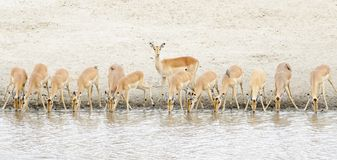 Impala Aepyceros melampus herd drinking at waterhole. Kruger National Park, South Africa royalty free stock image