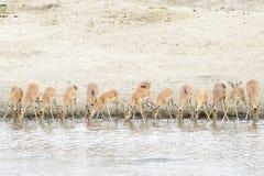 Impala Aepyceros melampus herd drinking at waterhole. Kruger National Park, South Africa stock images
