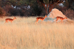 The impala Aepyceros melampus a herd of females. In the morning light Stock Image