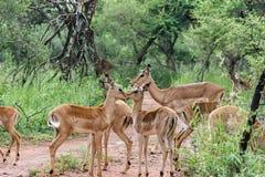 Impala [ Aepyceros melampus ] Royalty Free Stock Image