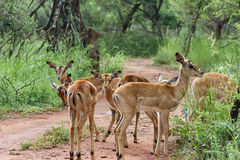 Impala [ Aepyceros melampus ] Stock Images