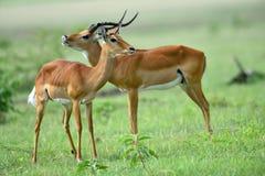 Impala Aepyceros melampus im afrikanischen Naturpark Stockbilder