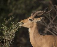 Impala, Aepyceros Melampus. Eating thorn bush showing his teeth in Kruger National Park, South Africa royalty free stock image