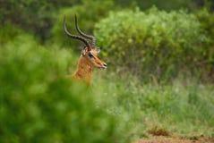 Impala - Aepyceros melampus. Small fast antelope from African savanna, Tsavo National Park and Taita hills reserve, Kenya stock photography