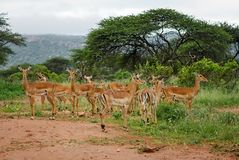 Impala - Aepyceros melampus. Small fast antelope from African savanna, Tsavo National Park and Taita hills reserve, Kenya royalty free stock photography