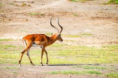 Impala or Aepyceros melampus. Is walking in savanna Royalty Free Stock Photography