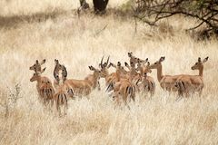 Impala (Aepyceros melampus) Royalty Free Stock Image