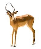 Impala. (Aepyceros melampus). Isolated on white background stock image
