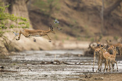 Impala (Aepyceros melampus) jumping across mud. Young male Impala (Aepyceros melampus) jumping across muddy river Stock Photo