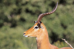 Impala - Aepyceros melampus Royalty Free Stock Photography