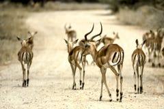 Impala. Aepyceros melampus, Kruger National Park, Mpumalanga, South Africa, Africa stock image