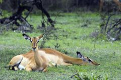 Impala (Aepyceros melampus) Royalty Free Stock Photos