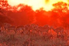 Impala,  aepyceros melampus. Kruger national park, South Africa Royalty Free Stock Photography