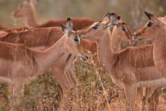 Impala, aepyceros melampus,. Kruger national park, South Africa Stock Images