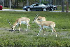 Impala (Aepyceros melampus). Impala Aepyceros melampus is one of the most agile of all the antelope species Stock Photo