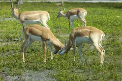 Impala (Aepyceros melampus) Royalty Free Stock Images