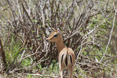 Impala (Aepyceros melampus petersi) Royalty Free Stock Photo