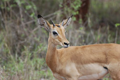 Impala (Aepyceros melampus petersi) Royalty Free Stock Photography