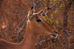 Impala Aepyceros melampus. Photographed in Kruger National Park, South Africa Royalty Free Stock Photography