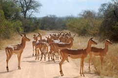 Impala (Aepyceros melampus) Royalty Free Stock Photography