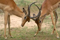 Impala (Aepyceros melampus) rams Royalty Free Stock Photo