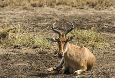 Impala  Aepyceros melampus , sitting down and facing camera. With curved twisted horns. Tarangire National Park, Tanzania, Africa royalty free stock photo
