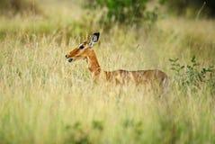 Impala - Aepyceros melampus. Small fast antelope from African savanna, Tsavo National Park and Taita hills reserve, Kenya royalty free stock photos