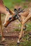 Impala - Aepyceros melampus. Small fast antelope from African savanna, Tsavo National Park and Taita hills reserve, Kenya stock image