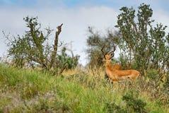 Impala - Aepyceros melampus. Small fast antelope from African savanna, Tsavo National Park and Taita hills reserve, Kenya stock photos