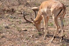 Impala Aepyceros melampus. Feeding, taken in South Africa royalty free stock image