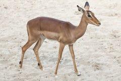 Impala Aepyceros melampus. Stock Image