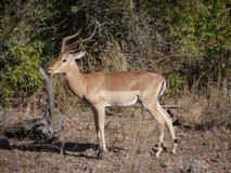 Impala. (Aepyceros melampus) in Zambia Stock Photo