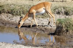 Impala (Aepycerus melampus) Royalty Free Stock Photo