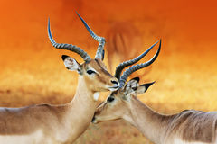 Impala affection during rutting season Royalty Free Stock Photos