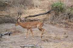 Impala in Africa stock images
