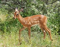 Impala in Africa. Young Impala Antelope (Aepyceros Melampus) in the Kruger Park, South Africa Royalty Free Stock Photo