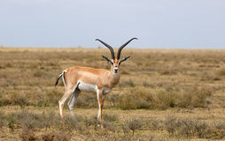 Impala - African antelope Royalty Free Stock Photo