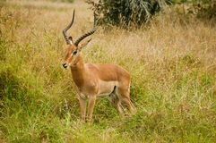Impala in the African Savannah Stock Photography