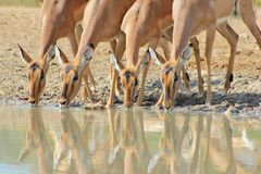 Impala - African Wildlife - Lined up Beauties Stock Photo