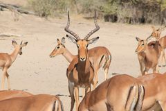 Impala - African Wildlife - Protecting his herd, Ram of Repute Stock Photography
