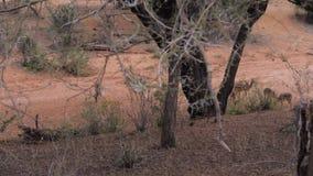 Impala africana selvaggia maschio dell'antilope con le femmine che pascono in un letto asciutto stock footage